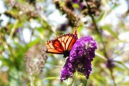 20170827 7D IMG_2155.JPG 7D butterflies
