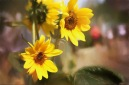 20170827 7D IMG_2189.JPG 7D sunflowers