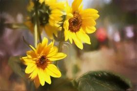 20170827 7D IMG_2189.JPG 7D sunflowers