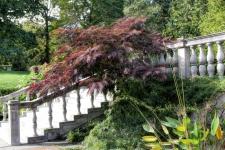 Purple Mimosa at the Brooklyn Botanical Gardens