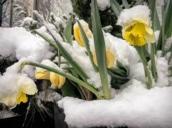 IMG_3444 Daffodils m